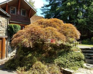 Crown-cleaning-a-Japanese-Laceleaf-Maple-in-Lake-Forest-Park_1_20171228_94111