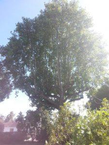 Prunning-champion-Tulip-tree_2017124_815