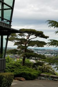 pruning-pine-tree-in-Japanese-style_1_201816_84255